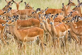 Impala in Serengeti