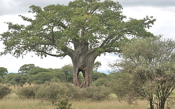 Baobabs in Mkomazi National park