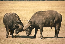 Buffalo in Ruaha National Park