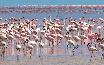 Flamingos in Lake Nakuru National Park