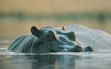 Hippo in Lake manyara