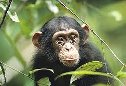 Infant Chimp in Gombe Stream National Park
