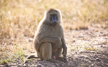 Baboons in Mikumi