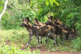 Wild Dogs in Selous Game Reserves