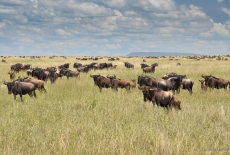 The Wilderbeasts in the Nabi Hill - Serengeti Plains